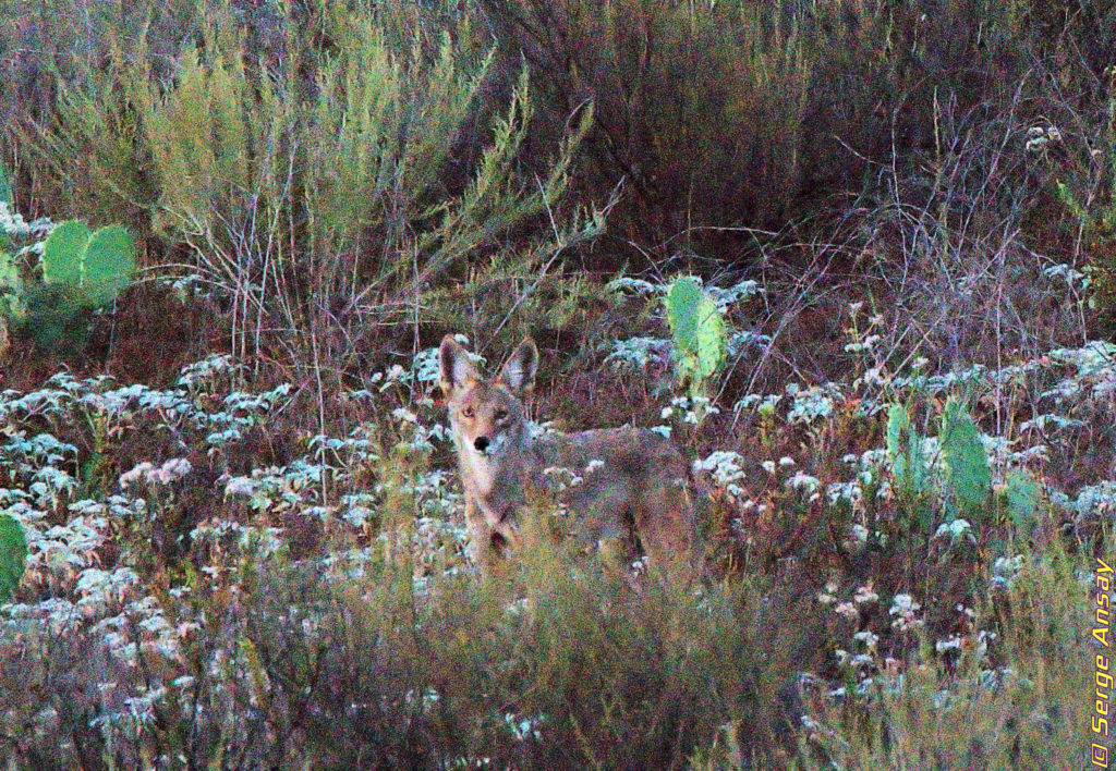 Coyote with cactus up on a hill San Diego California