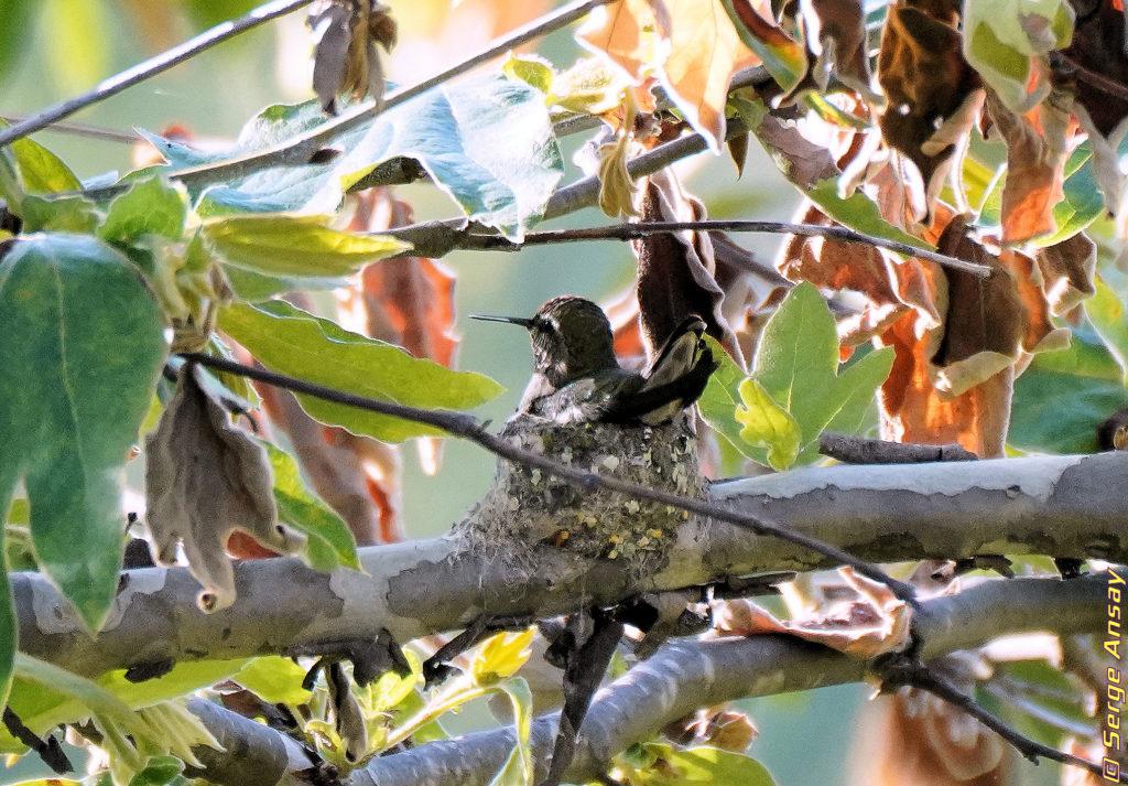 Hummingbird sitting on his nest, presumably brooding
