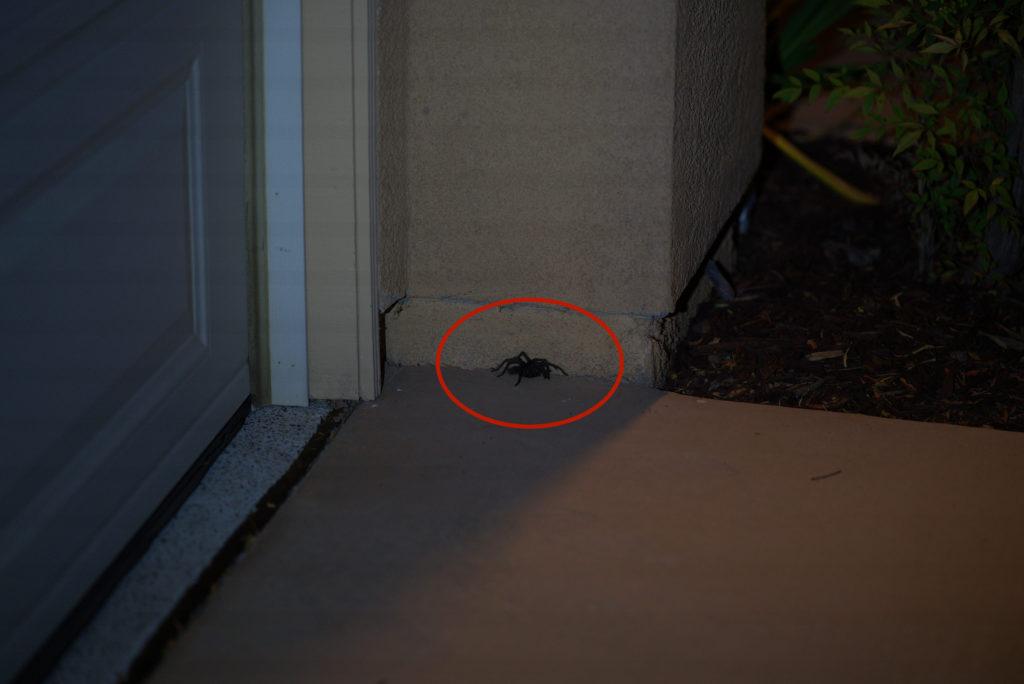 tarantula visit home san diego california
