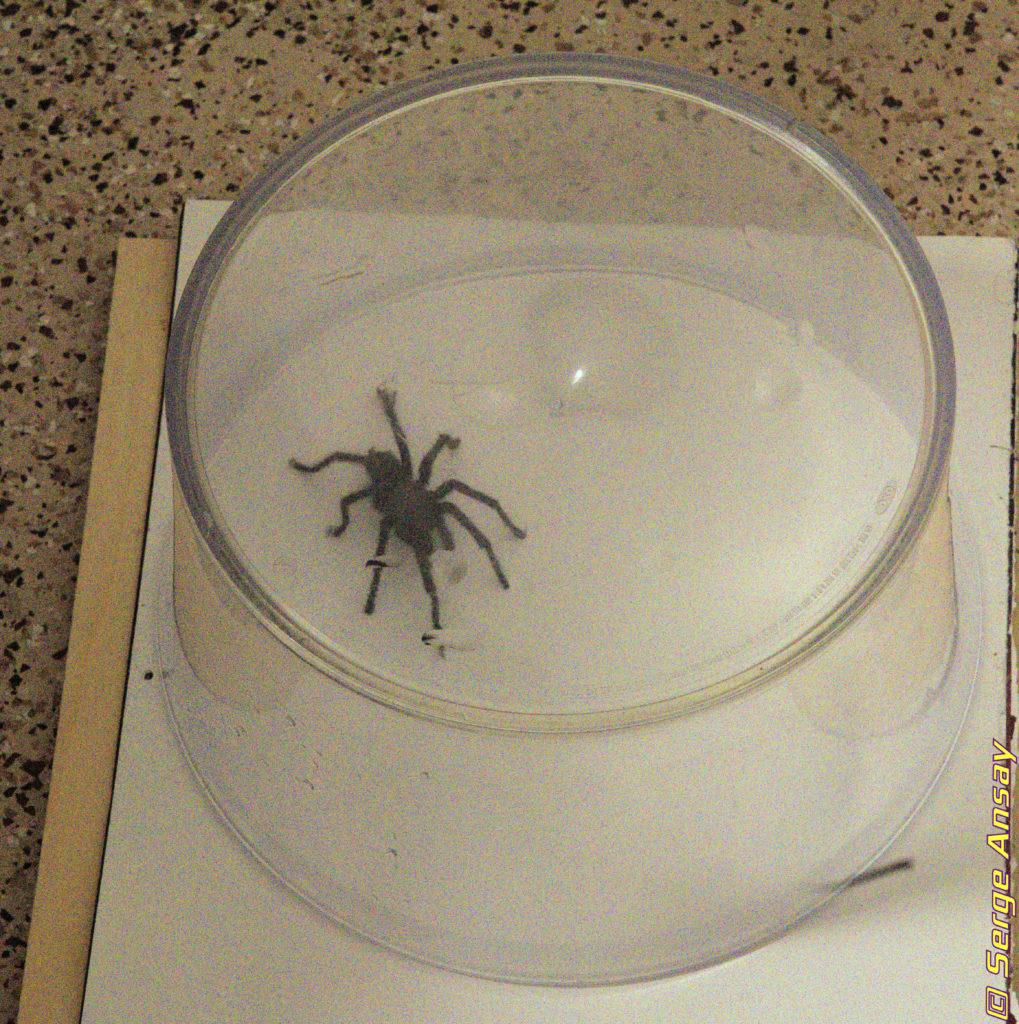Tarantula captured in garage
