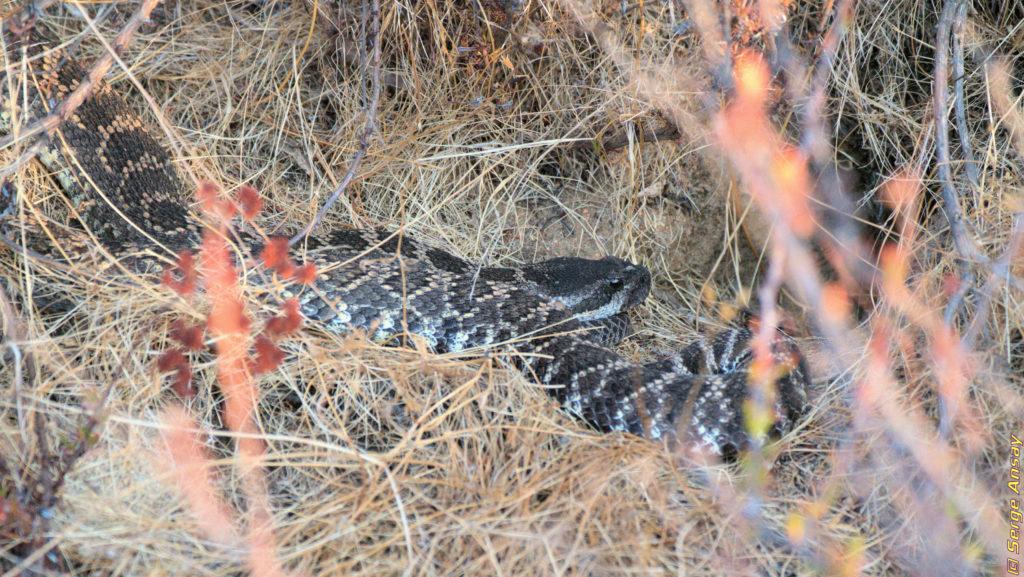 Diamondback rattlesnake