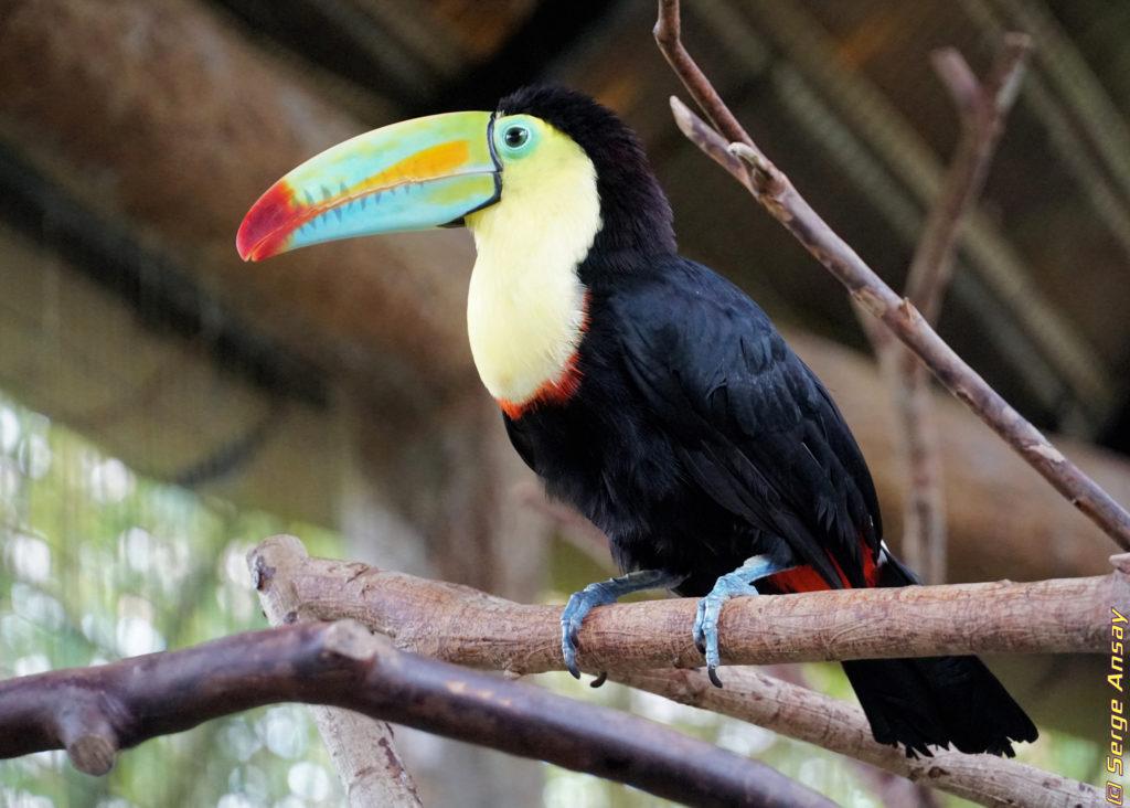 Costa Rica - La Paz Waterfall Gardens. keel-billed toucan