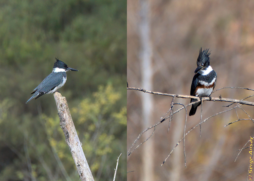 Male and female belted kingfisher