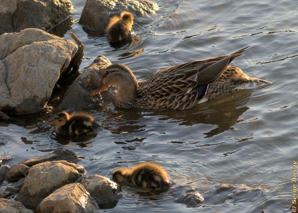 Mallard female duck and ducklings