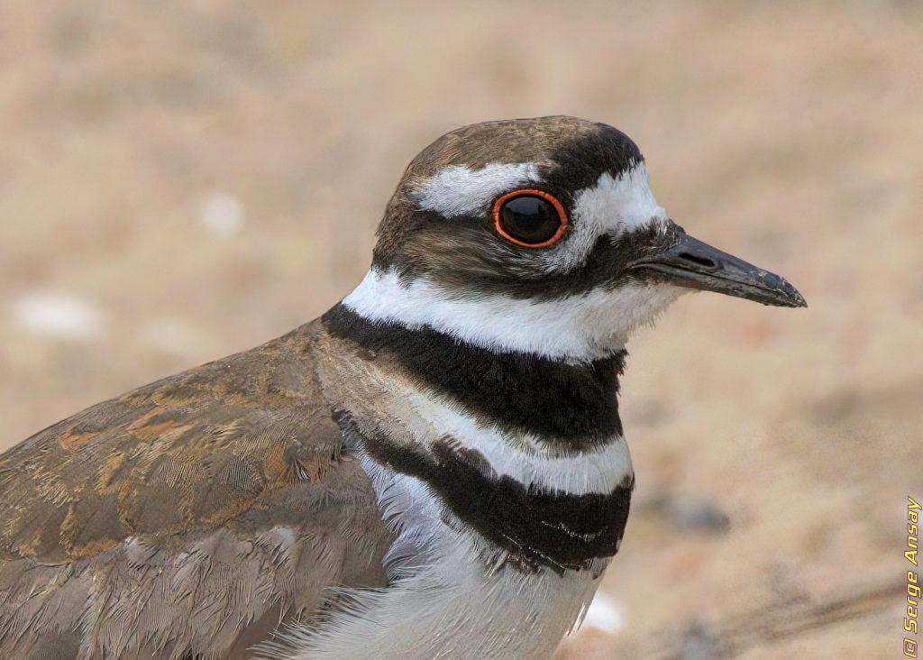 killdeer close-up