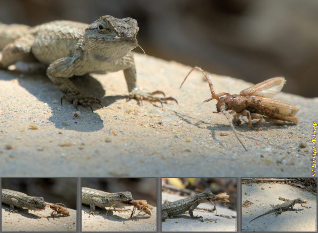 A lizard with its prey